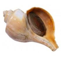 snail 3lb