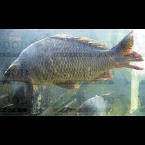 LIVE CRAP 鲤鱼 1LB