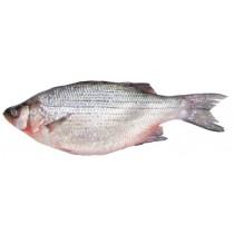 WHITE BASS 三线鱼 1LB