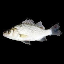 WHITE PERCH 单线鱼 1LB